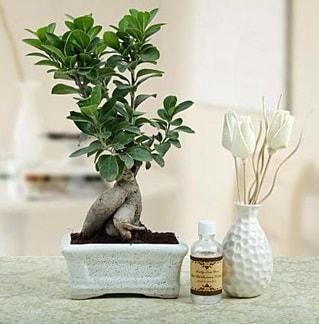 Ginseng ficus bonsai  Tekirdağ çiçek siparişi vermek