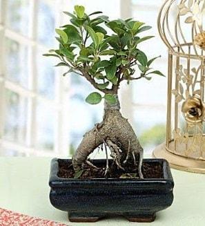 Appealing Ficus Ginseng Bonsai  Tekirdağ çiçek online çiçek siparişi