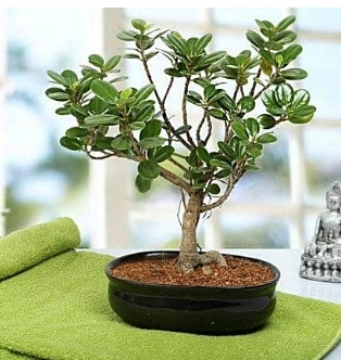 Lovely Ficus Iceland Bonsai  Tekirdağ çiçek online çiçek siparişi