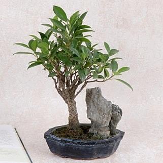 Japon ağacı Evergreen Ficus Bonsai  Tekirdağ çiçek gönderme
