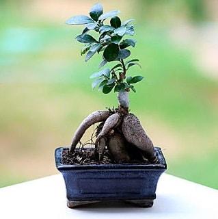 Marvellous Ficus Microcarpa ginseng bonsai  Tekirdağ cicek , cicekci