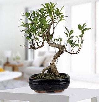 Gorgeous Ficus S shaped japon bonsai  Tekirdağ çiçek yolla , çiçek gönder , çiçekçi