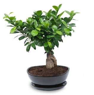 Ginseng bonsai ağacı özel ithal ürün  Tekirdağ internetten çiçek siparişi