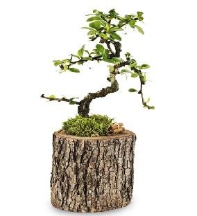 Doğal kütükte S bonsai ağacı  Tekirdağ ucuz çiçek gönder