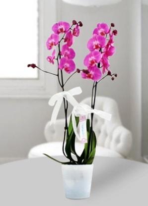 Çift dallı mor orkide  Tekirdağ çiçek siparişi vermek