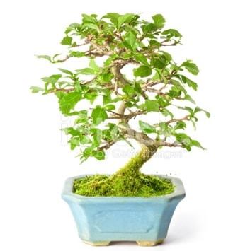S zerkova bonsai kısa süreliğine  Tekirdağ çiçek yolla