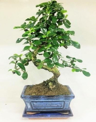 S Bonsai japon ağacı bitkisi  Tekirdağ anneler günü çiçek yolla