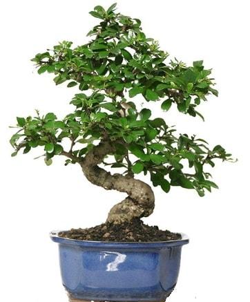 21 ile 25 cm arası özel S bonsai japon ağacı  Tekirdağ çiçek , çiçekçi , çiçekçilik