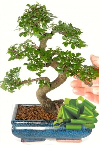 Yaklaşık 25 cm boyutlarında S bonsai  Tekirdağ çiçekçiler