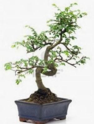 S gövde bonsai minyatür ağaç japon ağacı  Tekirdağ ucuz çiçek gönder
