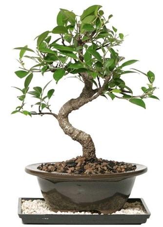 Altın kalite Ficus S bonsai  Tekirdağ çiçek , çiçekçi , çiçekçilik  Süper Kalite