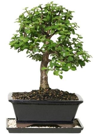 15 cm civarı Zerkova bonsai bitkisi  Tekirdağ çiçekçiler