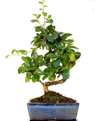 S gövdeli carmina bonsai ağacı  Tekirdağ çiçekçi telefonları  Minyatür ağaç