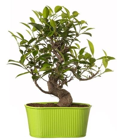 Ficus S gövdeli muhteşem bonsai  Tekirdağ çiçekçiler