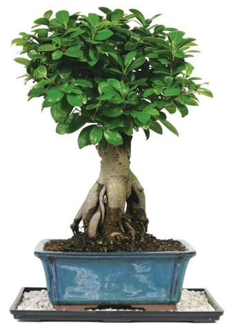 Bonsai Ginsing Grafted Ficus Bonsai  Tekirdağ çiçekçi telefonları