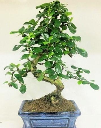 Zelkova S gövdeli Minyatür ağaç Bonzai  Tekirdağ çiçek satışı