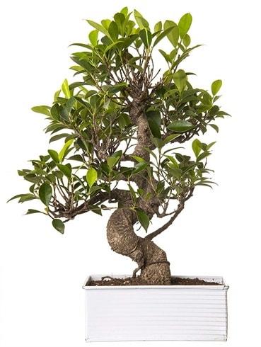 Exotic Green S Gövde 6 Year Ficus Bonsai  Tekirdağ çiçek gönderme