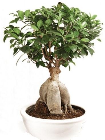 Ginseng bonsai japon ağacı ficus ginseng  Tekirdağ çiçek yolla
