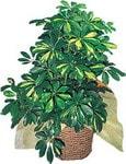 Tekirdağ online çiçek gönderme sipariş  Schefflera gold
